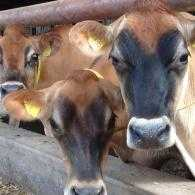 Jersey cows at Blodwell Hall farm.
